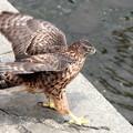 Photos: 暑さしのぎのオオタカ若鳥