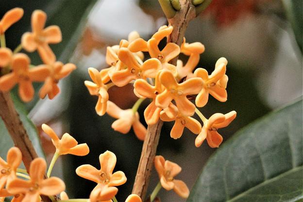 Photos: 香りの花、キンモクセイ