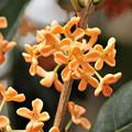 香りの花、キンモクセイ