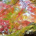 庭を覆う紅葉、黄葉、まだ染まらないのも
