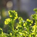 Photos: 花菜たち