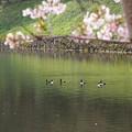 写真: 湖東の春