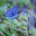 写真: 青い翅