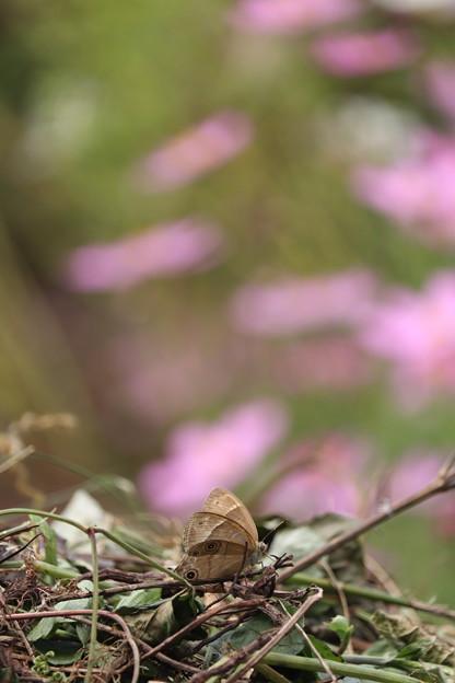 写真: チョウも枯れ葉色