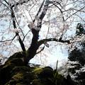 写真: 14_桜満開-3814