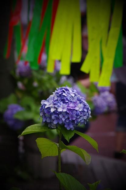 紫陽花も七夕へ彩る・・20140705