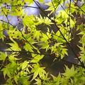 小石川後楽園庭園内の新緑。。20170402