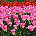 写真: 撮って出し。。眩しいピンクなチューリップ。。昭和記念公園 20170423
