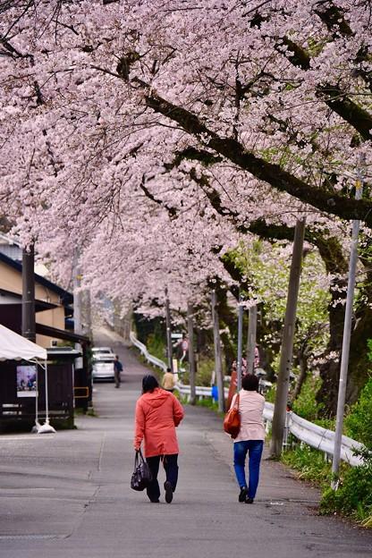 神奈川県山北町の桜並木。。散歩 20170410