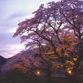 山北の夕暮れ。。ライトアップされた桜。。20170410