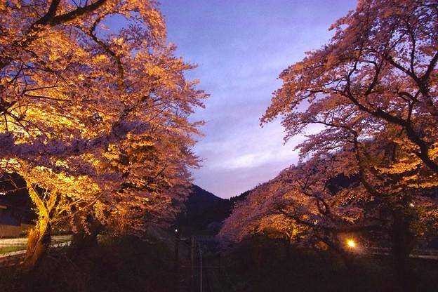 山北は薄暗くなりライトアップされた桜が。。20170410