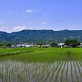 Photos: 梅雨の晴れ間の開成町 田んぼ風景 20170610