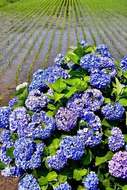 開成町の田んぼと紫陽花。。(^^)20170610