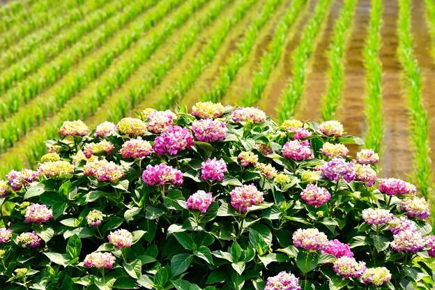 元気な苗と紫陽花。。開成町あじさい祭り 20170610