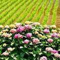 Photos: 元気な苗と紫陽花。。開成町あじさい祭り 20170610
