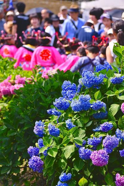 開成町あじさい祭りの風景。。紫陽花 20170610