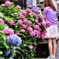 鎌倉 極楽寺の紫陽花に夢中。。(^^)20170625