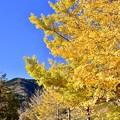 三保ダム河口のいちょうの木 綺麗な黄色い 20171112