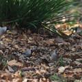 写真: コイカル幼鳥?1224 (4)