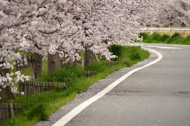 ふれあい広場の桜-5