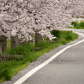 写真: ふれあい広場の桜-5