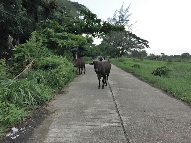 花園を歩く牛 (2)