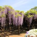 特別天然記念物 「牛島の藤」