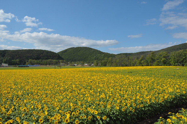 Photos: 網走大曲湖畔園地ひまわり2768