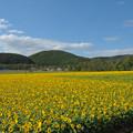 写真: 網走大曲湖畔園地ひまわり2768