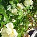 Photos: いまは亡き白薔薇の喫茶店