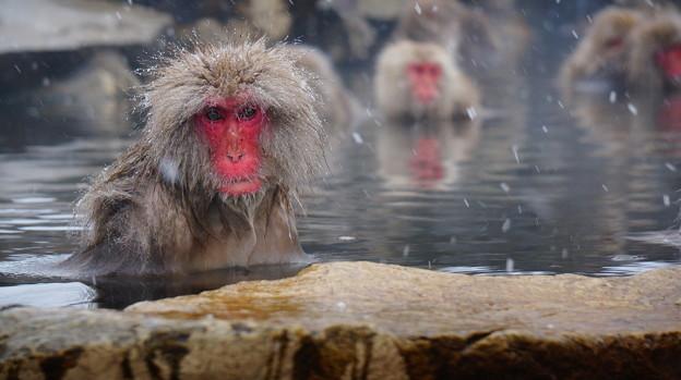 長野猴子泡湯04
