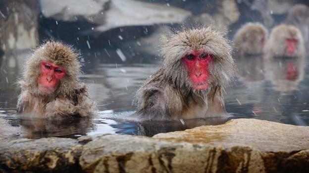 長野猴子泡湯05