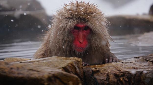 長野猴子泡湯08