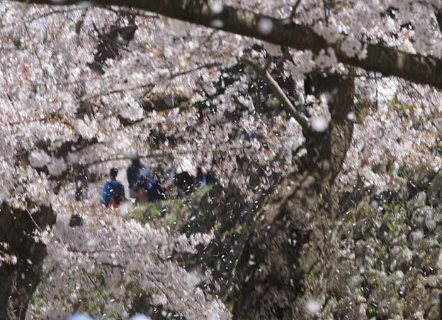 花吹雪komoro_DSC01458
