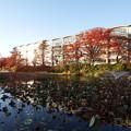 Photos: お堀の枯れ蓮と終わりかけの紅葉