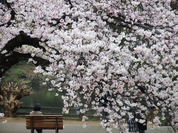 櫻花木下的寧靜