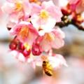A Taste Of Honey~河津桜III~