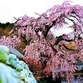 世の中に たえて桜の なかりせば・・・