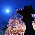 写真: 三嶋大社の夜桜が恋しくて・・・朧月夜