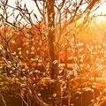 写真: 夕陽の中の春 ~ねこやなぎ~