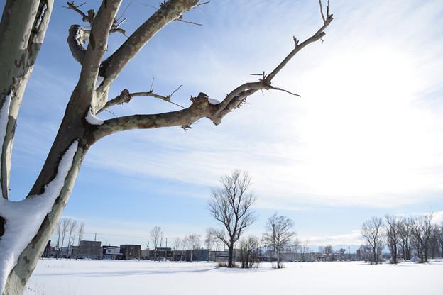 雪原とシラカバ