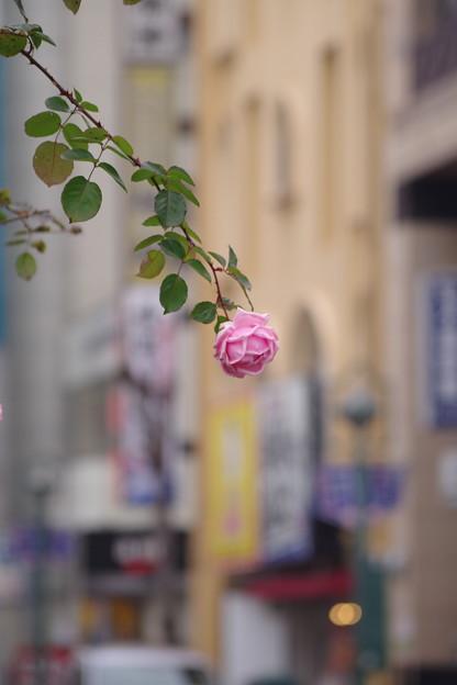「街薔薇」