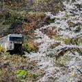 写真: 廃バスと桜