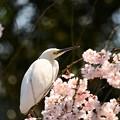 白鷲と糸桜