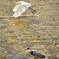 飛び立つ白鷺と青鷺
