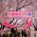 Photos: 八幡桜まつり