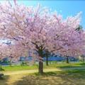 妙法寺川公園の桜
