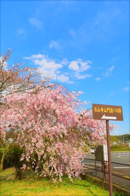 門前のしだれ桜