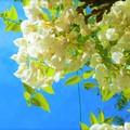 玉川南公園の藤