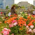 写真: 夕方のバラ園